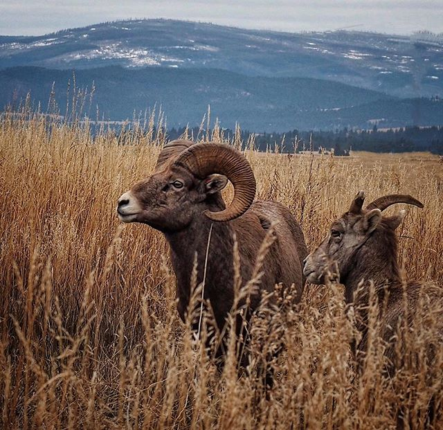 It's that time of season when things get a little RAMbunctious..ewe know? . . #loveisintheair#whataramantic#ramblinglovers#montana#wildlife#naturephotography#outdoors#ram#wild#greatoutdoors#animals#bighornsheep
