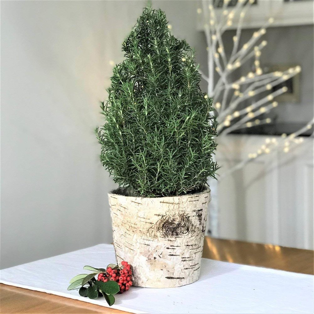 Live Potted Rosemary Tree In a Natural Birch Basket Mini Christmas Tree