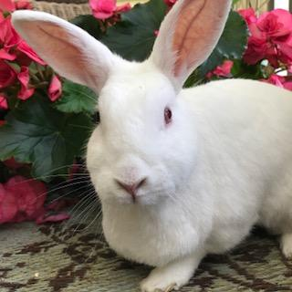Ruby Bunny - This is Ruby Moon Eyes. She blessed us with her angelic presence and bright beautiful light for 10 years. The creation of Ruby Rose Sanctuary stemmed from this beautiful being representing pure love, light and holding a space of sweetness and peace!