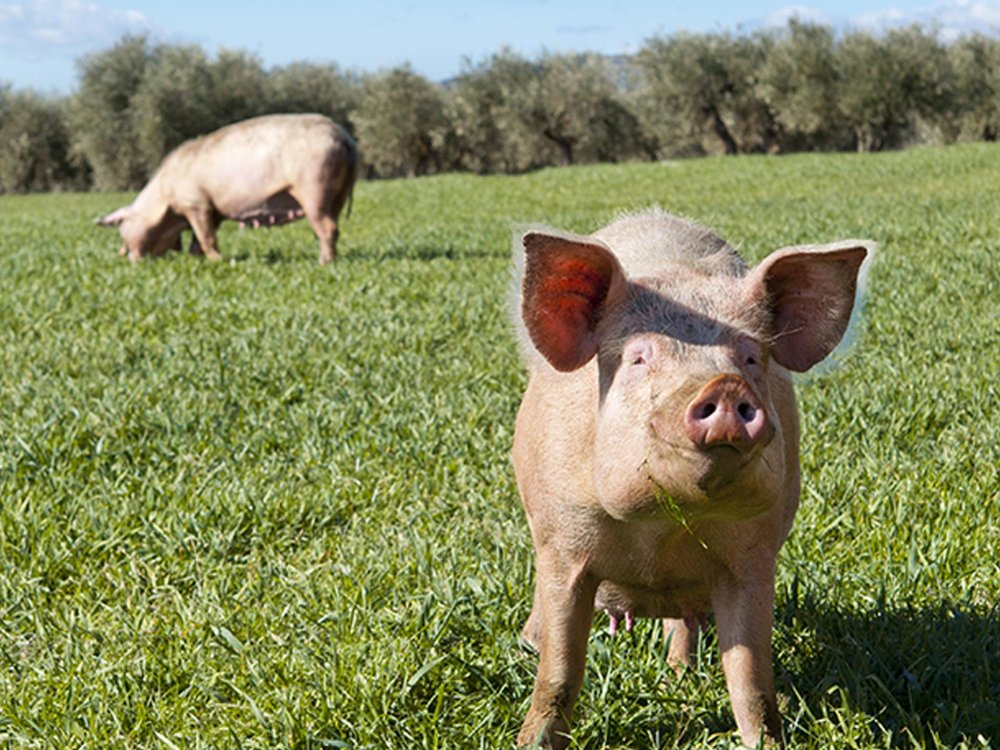 BENEFITTING PIGGY BANK - The goal is simple: to create a foundation that will ensure family farmers have resources to run successful businesses which will clear a path for new farmers to raise safe and honest food for generations of children and cooks to come.