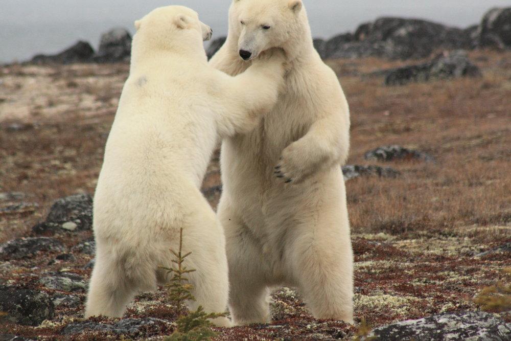 Polar Bear 1.JPG