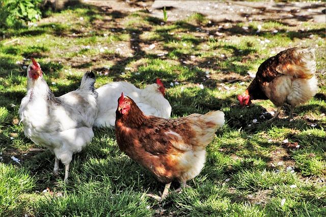 poultry-3355566_640.jpg