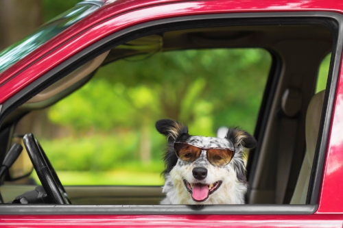 Dog pet transportation car service in Orange County- Costa Mesa, Irvine, Newport Beach.