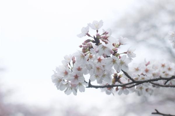 mandeltræ.jpg