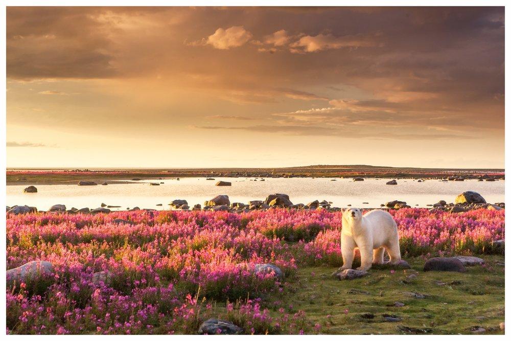 KANADA - Abenteuer und Natur der nördlichen Hemisphäre - Wir sind große Fans der kanadischen Westküste und der Arktis. British Columbia mit Vancouver Island haben für Naturfreunde unglaublich viel zu bieten: Nicht nur Schwarz- und Grizzlybaren, sondern auch Orkas, Buckel- und Grauwale sowie unzählige Delphine kann man hier in ihrem natürlichen Lebensraum beobachten. Selbst Weißkopfadler - einst fast ausgestorben - haben sich erholt und sind fast überall entlang der Küste zu sehen. Weiter im Norden warten Eisbären, Walrösser, Moschusochsen und viele weitere Tierarten auf Sie. Während sich Vancouver Island und viele Teile des Festlandes gut mit dem Auto bereisen lassen, sollte man die Strassen verlassen und auf Wasserflugzeuge, Helikopter und Schiffe umsteigen, um die richtige Wildnis zu erleben. Für ultimative Erlebnisse in vollkommener Wildnis haben wir einige wunderschöne und sehr komfortable Unterkünfte gefunden.