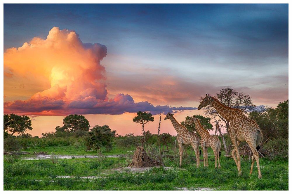 BotswanaArtenvielfalt für Tier- und Naturliebhaber - In erster Linie berühmt für das Okavango Delta, können Sie in Botswana noch das Gefühl echter Wildnis erfahren. Die Camps sind mit nur wenigen Zelten meist klein und relativ weit voneinander entfernt. Während der Pirschfahrten begegnen sich nur selten Fahrzeuge, dafür können Sie eine beeindruckende Vielzahl von Tierarten beobachten. In Botswana wird viel Wert auf Nachhaltigkeit im Tourismus gelegt, so dass die touristischen Aktivitäten auf Qualität statt Quantität ausgerichtet und daher besonders schön sind. Selbstfahrer sind in Botswana nur selten zu finden, das Land lässt sich auf Flugsafaris am besten erkunden. Mit seiner einzigartigen Tierwelt lässt sich Botswana darüber hinaus wunderbar mit den beeindruckenden Landschaften Namibias kombinieren.