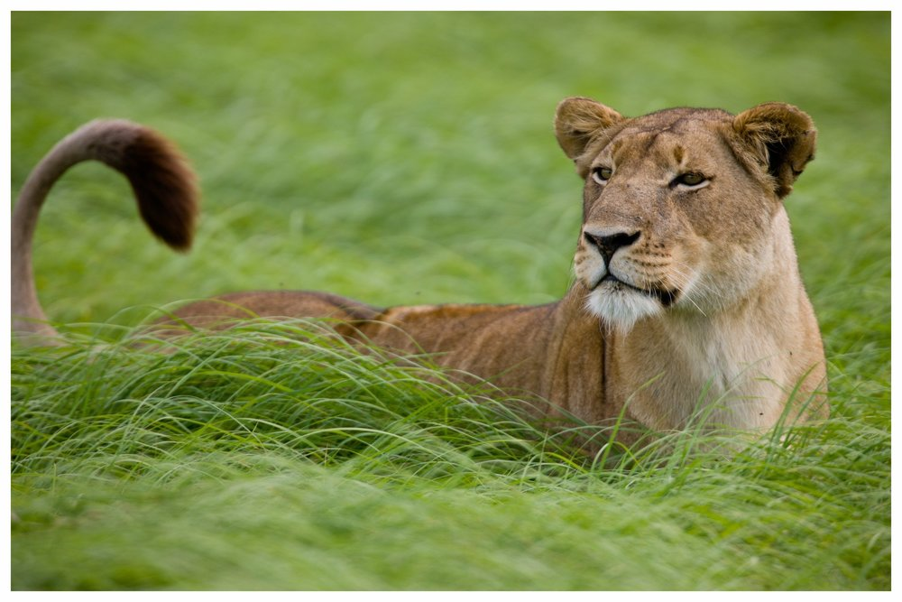 SAMBIA - Das unentdeckte Juwel - Sambia, im südlichen Afrika gelegen, wird als Safariland oft unterschätzt, obwohl die Nationalparks Kafue und South Luangwa gerade deswegen großartige Tierbeobachtungen in ungestörter Abgeschiedenheit bieten. Neben den Pirschfahrten lassen sich die Parks in Sambia auch gut im Rahmen einer Walking-Safari oder vom Kanu auf dem Sambesi erleben. Abgesehen von den Parks mit ihren Tierpopulationen sollten Sie sich auch die Stadt Livingstone und die Viktoriafälle während einer Safari nicht entgehen lassen. Die Vielfalt des Landes ist beeindruckend und auch unsere erfahrenen Guides haben enormes Wissen, dass sie gern mit Ihnen teilen.