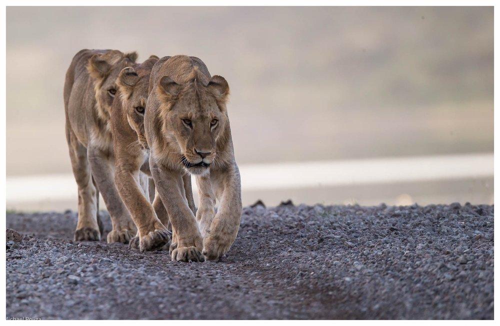 TANSANIA - Erlebnisse abseits der Tourismuszentren - Tansania teilt sich in zwei unterschiedliche Safari-Destinationen: Im Nordwesten finden sich die beliebte Serengeti, der Ngorongoro Krater und einige schöne Nationalparks. Vermeiden Sie unbedingt die Hauptreisezeit von Juli bis September - da sind diese Orte schnell überfüllt. Im Süden und Südosten des Landes, welche wesentlich weniger besucht sind, bieten sich viele faszinierende Tiererlebnisse, die unvergesslich bleiben. Dazu zählen zum Beispiel die Schimpansen in Mahale und die Nationalparks Katavi, Ruaha und Selous. Die Parks und Lodges sind relativ weit von einander entfernt, so dass sich hier Charterflüge für den Transfer anbieten. Sansibar als populäre Küstendestination ist touristisch sehr beliebt. Um Menschenmengen zu vermeiden, zeigen wir Ihnen gern unsere Geheimtipps.