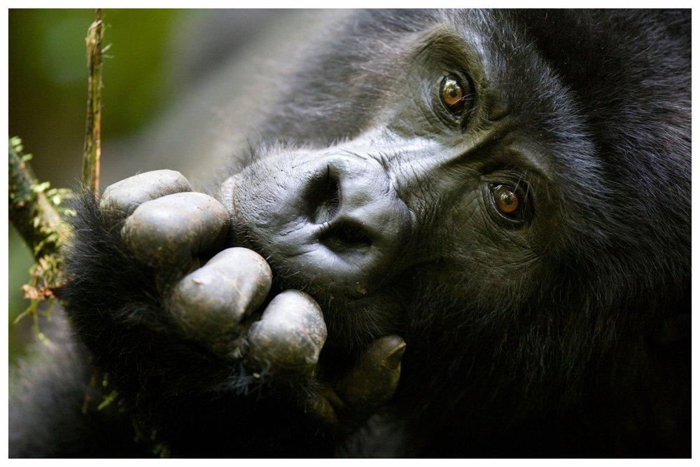 UGANDA & RUANDA- Zuhause der Berggorillas - Reisen in die relativ kleinen Länder Uganda und Ruanda werden oft mit einem Besuch in Kenia oder Tansania kombiniert. Die Hauptattraktionen der beiden zentralafrikanischen Länder sind mit Sicherheit die Gorillas. Der Besuch bei unseren nahen Verwandten ist ein erfreifendes Erlebnis, das tief unter die Haut geht und besonderen Wert hat. Sie leben in Großfamilien in den hochgelegenen Regenwäldern von Uganda und Ruanda zusammen und können nur im Rahmen einer offiziellen, recht kostspieligen Führung besucht werden, deren Erlöse zum großen Teil dem Schutz der Tiere zu Gute kommt. Um die bedrohten Tiere vor Belastung zu schützen, sind die Besucherzahlen außerdem stark begrenzt. Sogenannte Permits sind zwar limitiert, selbstverständlich besorgen wir diese aber für unsere Gäste im Voraus, so dass Ihnen ein Platz sicher ist.
