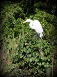 A great egret perches on the edge of the Wacissa River at the Aucilla WMA bioblitz. Photo by Emily Ellis.