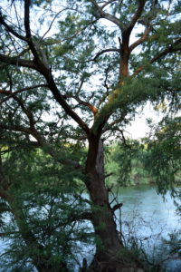 An extremely-rare old growth Montezuma cypress grows along the Rio Grande.