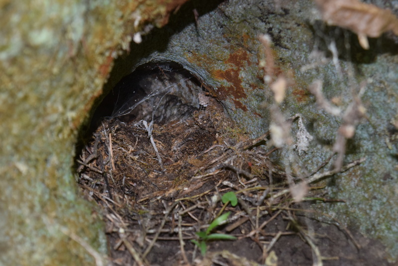 First documented nest of an Eastern Phoebe in Jefferson County, Florida.