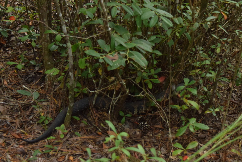 A blurry photo of the largest cottonmouth I've ever seen. It was approximately 3.5 feet long.