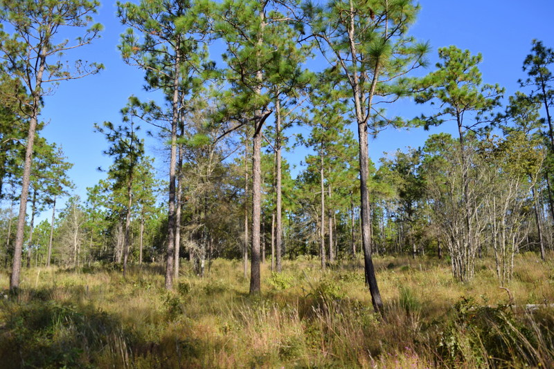 Restored longleaf pine/wiregrass uplands on Helen and Tom Roth's property.
