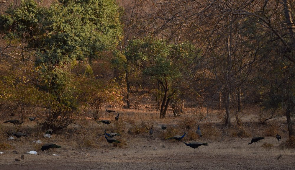 Indian peafowl forage among a disturbed area within Ranthambore National Park, India