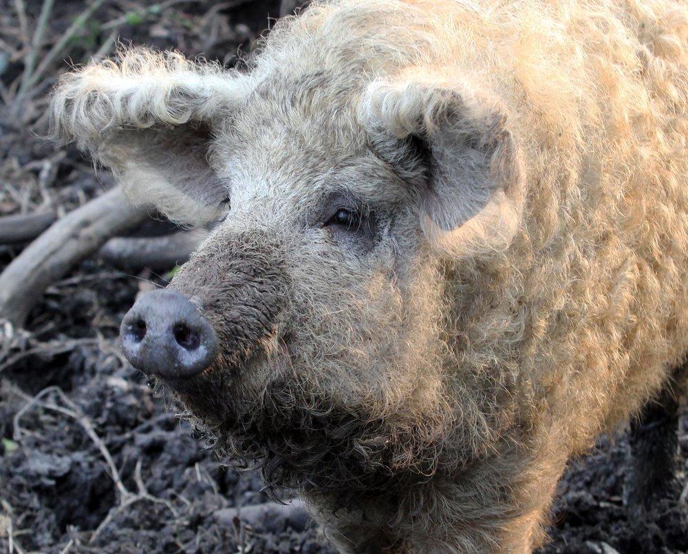 Welsh Mangalitza Pig