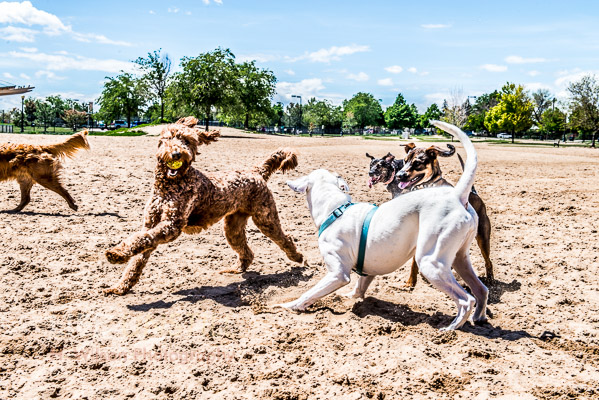 Dogs playing off leash in the neighborhood dog park in Stapleton.