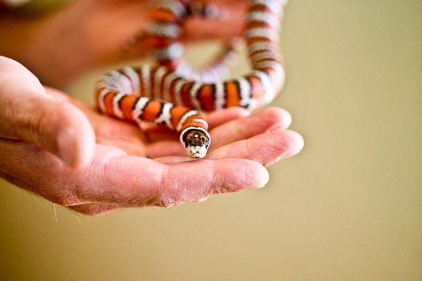 Hands holding orange, black, and white pet snake.