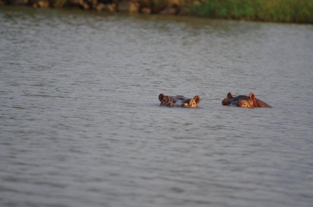 Hippos at Lake Tana.JPG