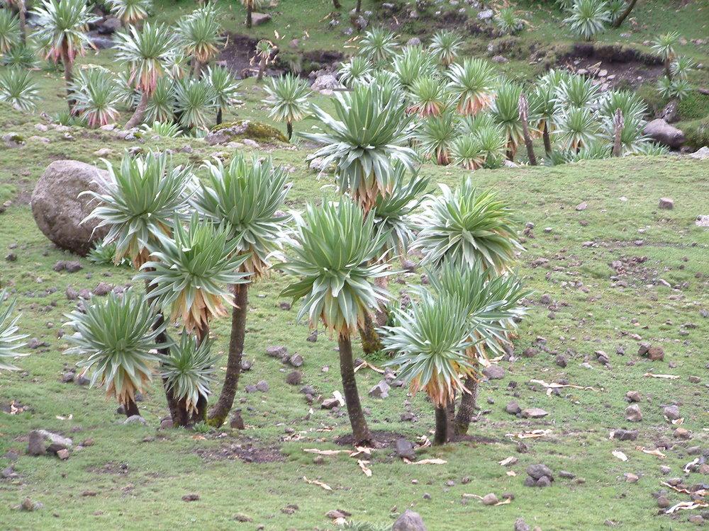 giant lobelia tree in the simien mountains NP.JPG