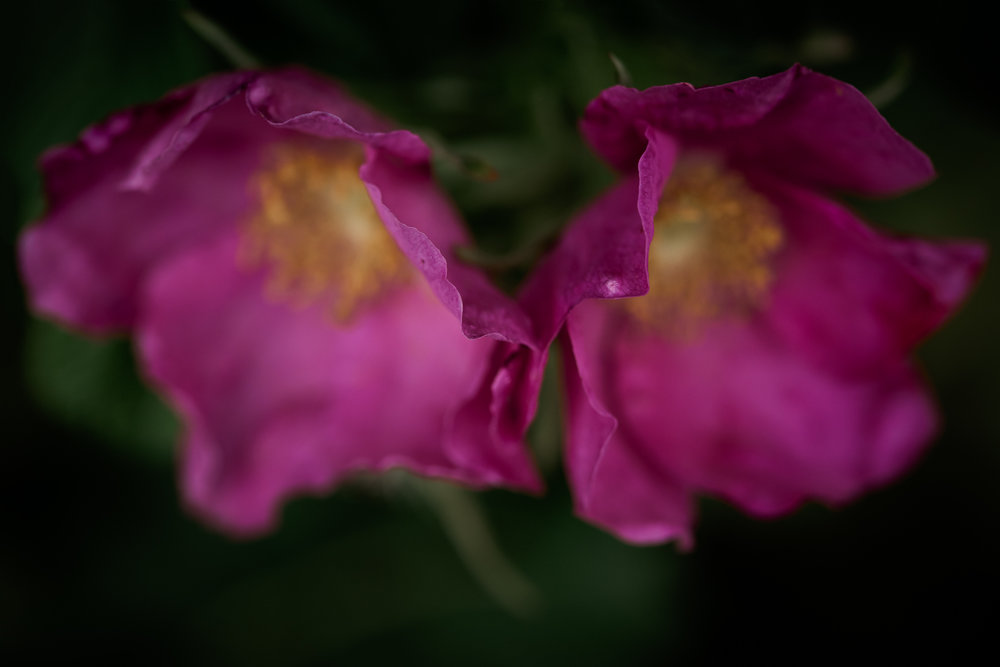 macro-of-two-seaspray-roses