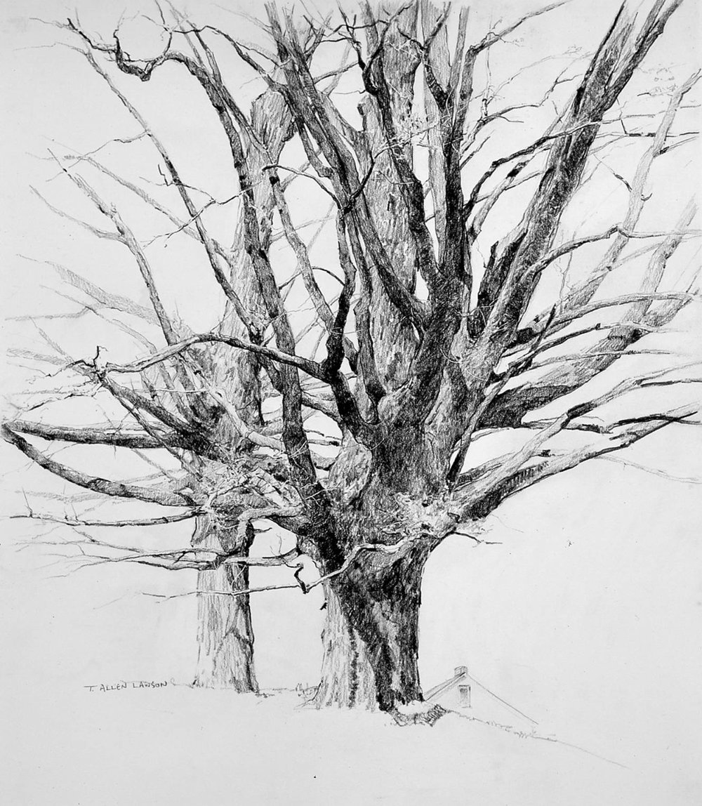 Spring Maples, negra lead and graphite on paper, 25.5 x 22 in.
