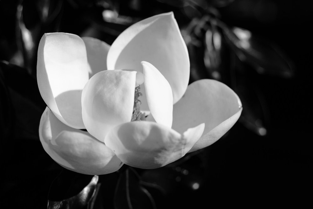 My Number 7 Photo of 2017, a black and white photo of a magnolia blossom