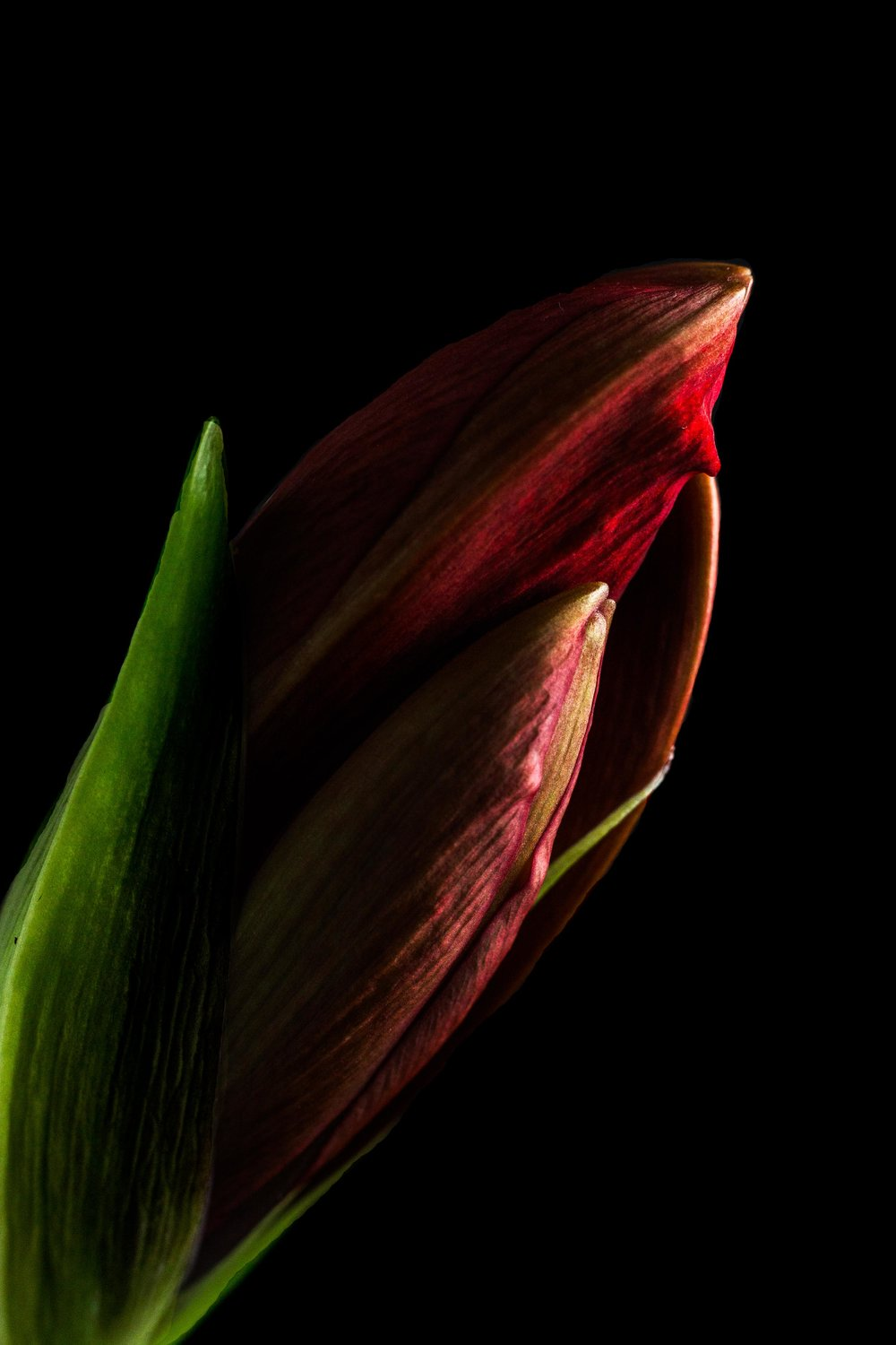 Amaryllis on black background