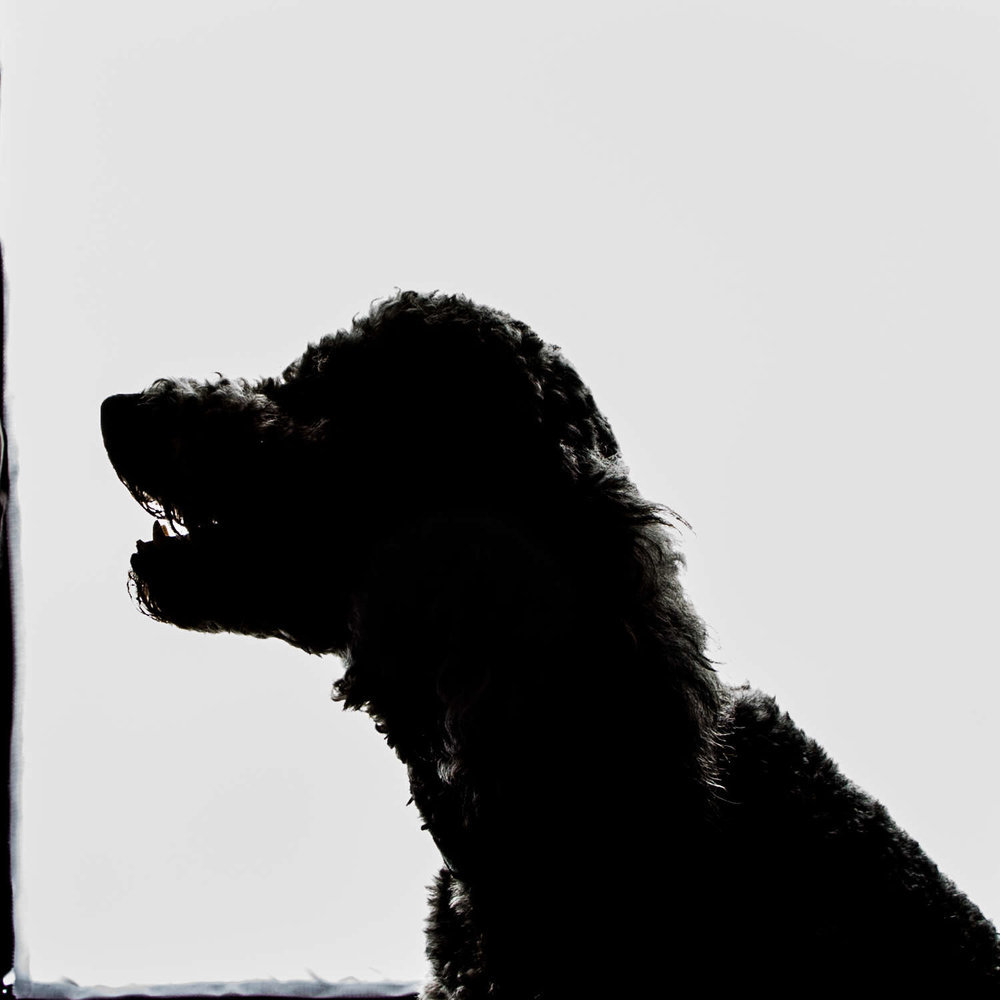 silhouette of Knox the labradoodle