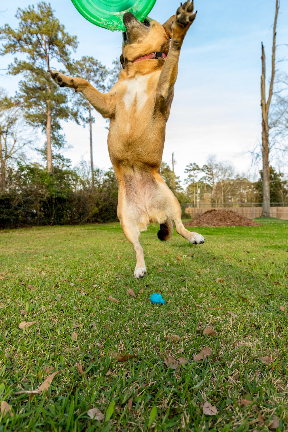 dog gets air to catch frisbee