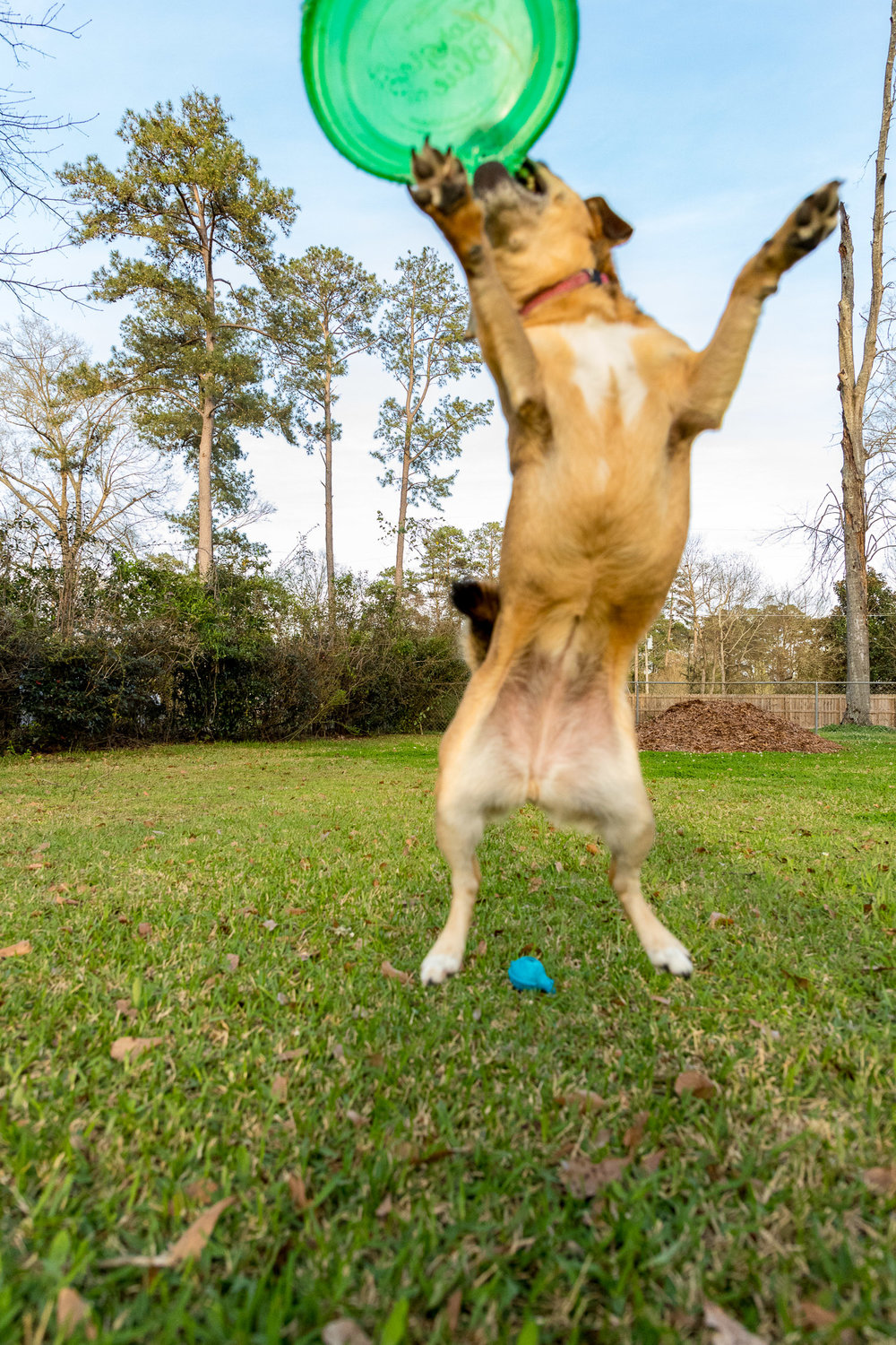 lola-jumping-flying-disc.jpg
