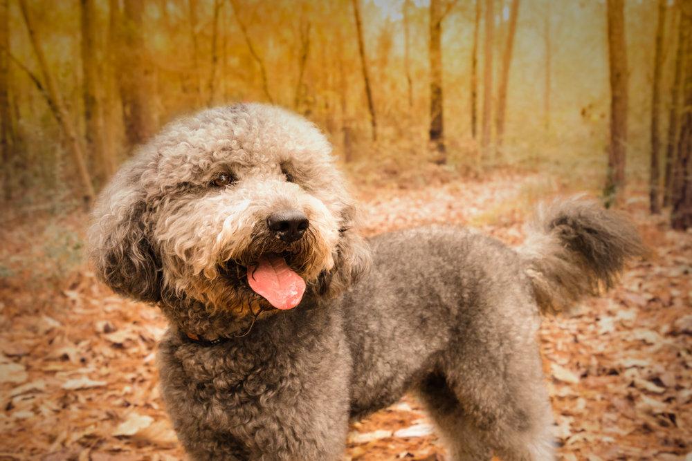 Dog-Forrest-Sunset0Autumn