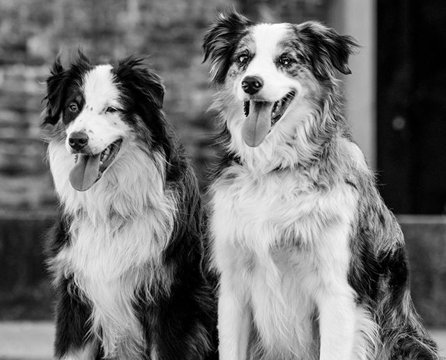 How do you take a cityscape photo when your city has no scape? #aussies #petphotography #dogsofinstagram #blackandwhite #bnw #petphotographer #hattiesburgphotographer #downtownhattiesburg #aussiesrule #australianshepherds #project52 #petphotographyproject52