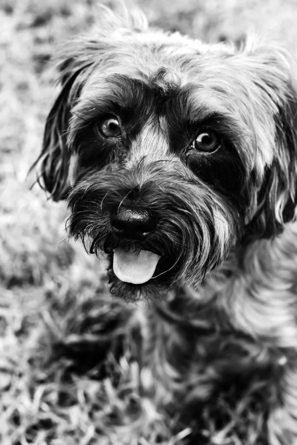 Chloe the yorkie-poo sitting in grass on a late summer day
