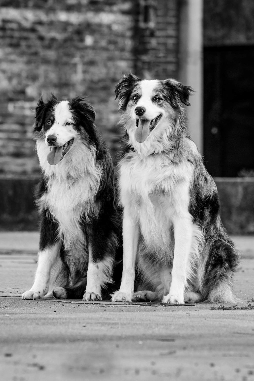 australian-shepherds-cityscape-black-white