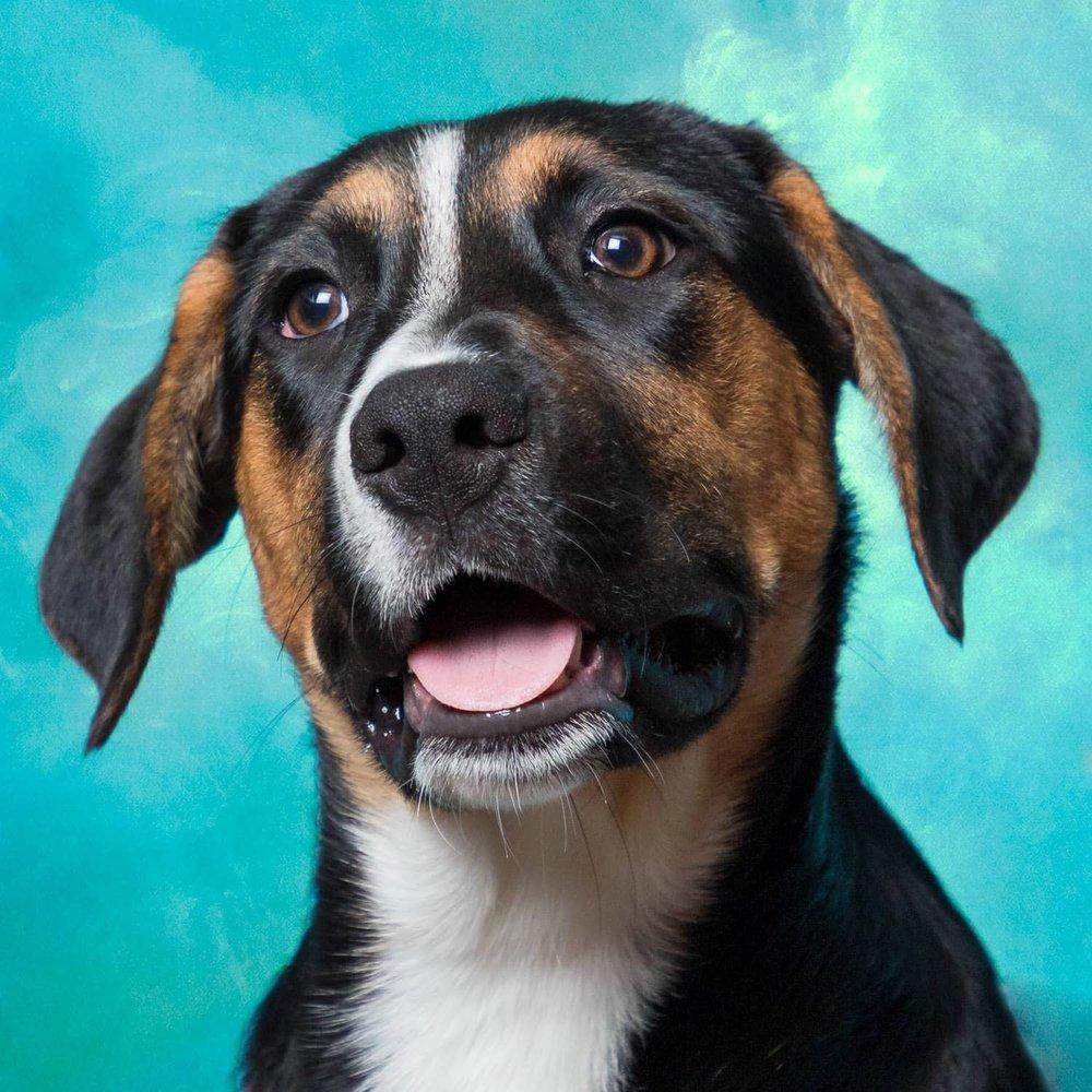 """Sissy,"" the beagle mix"