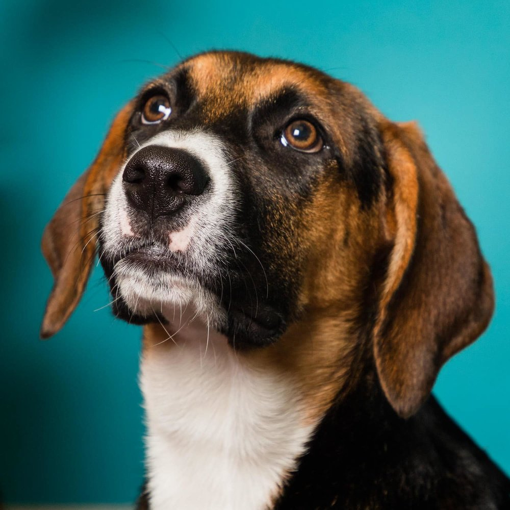 """""""Sassy,"""" who is Sissy's sister. You can definitely see beagle in her."""