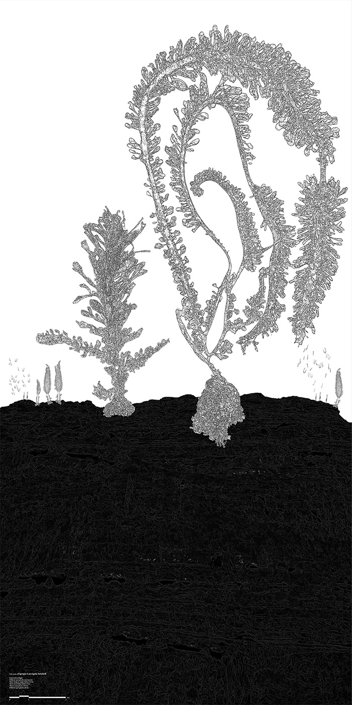 Egregia species is midwater-surface canopy kelp that includes sub species like Egregia Laevigata and Egregia Menziesii. The drawing indicates developmental stages and life cycle of Egregia Laevigata which inhabits around the site (Point Loma, San Diego) which can be considered as the most significant difference to Egregia Menziesii which lives different part of Southern California. The different geographic distribution and environmental influence (water temperature, water pressure, amount of nutrition, light penetration level) puts huge effect on their morphology or physical appearance such as shape of blades and their texture, average number of blades, length of stipe, etc.From left to right: filiform sporophylls, short stripe & single blade, short branching thallus, mature sporophyte, filiform sporophylls