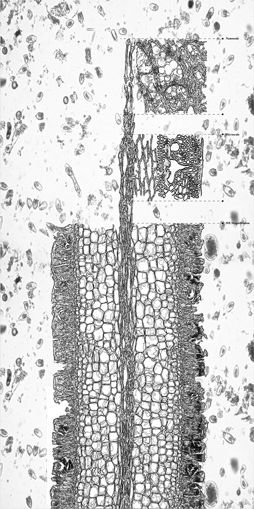 Cross section of blade of Laminaria Farlowii showing cells, parapyses, and sporangia in 3 different scales (from bottom to top: 20x magnification, micro-scale, nano-scale) in context of ocean water with other living organisms (in scale).