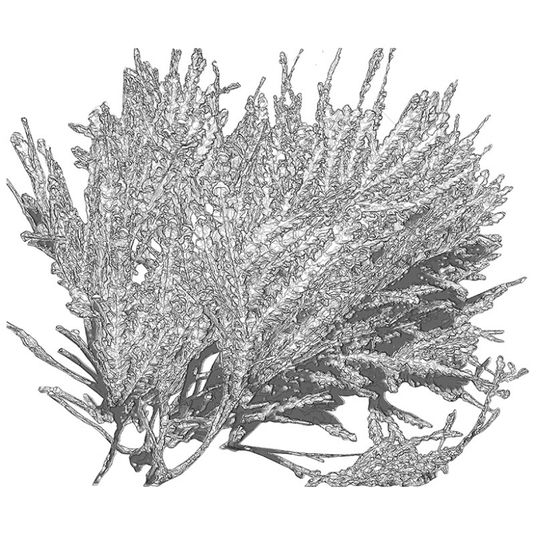 Coralline officinalis linnaeus