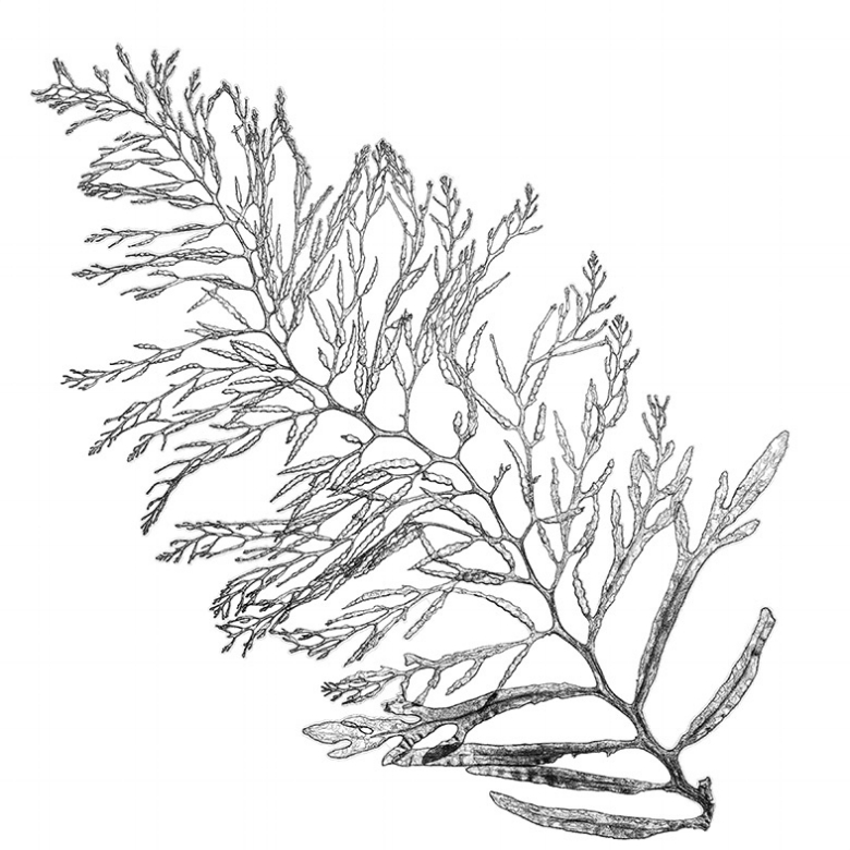Cystoseira osmundacea