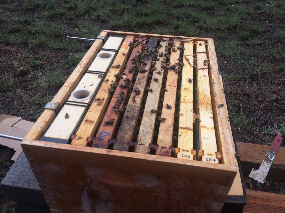 "Each nucleus hive was moved, frame by frame, into a bigger box with space for eight frames. The far left is a feeder (there is a special ""bee tea"" inside that will help them to build up their colony), then the five original nucleus frames, then two frames that were already partially filled with resources (honey, nectar, pollen) by last year's bees."