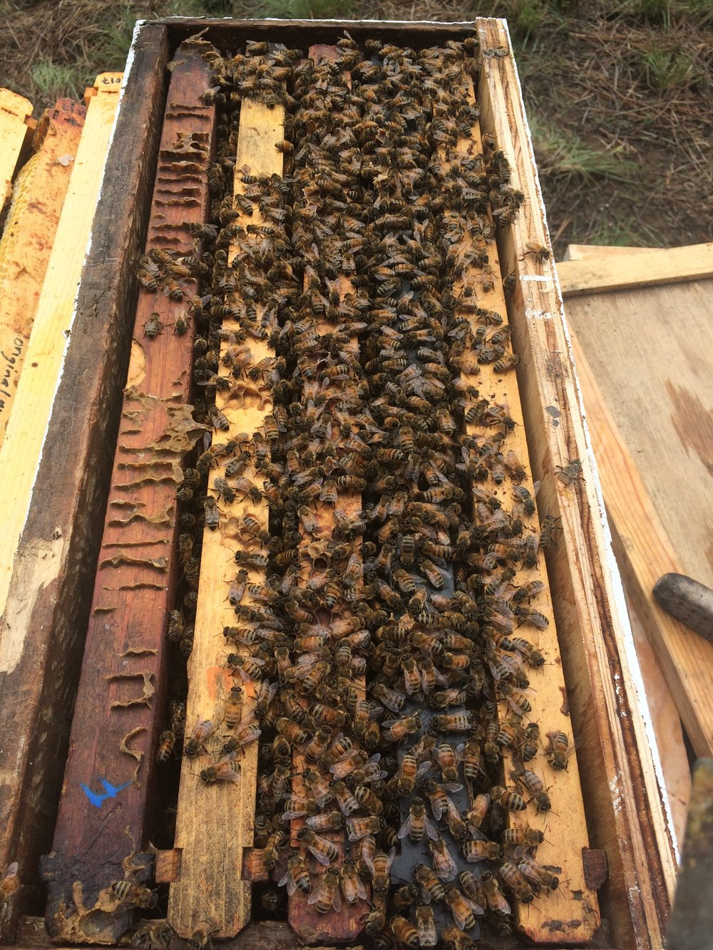 "This is a five-frame ""nucleus"" hive - Ruby picked up five of these small hives from a local apiary that specializes in ""survivor bees"" that are locally adapted to Southern Oregon."