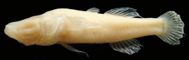 cavefish2.jpg