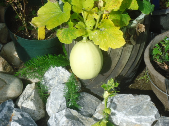 some of your bounty is great golden squash. It is a great ingredient for all kinds of food
