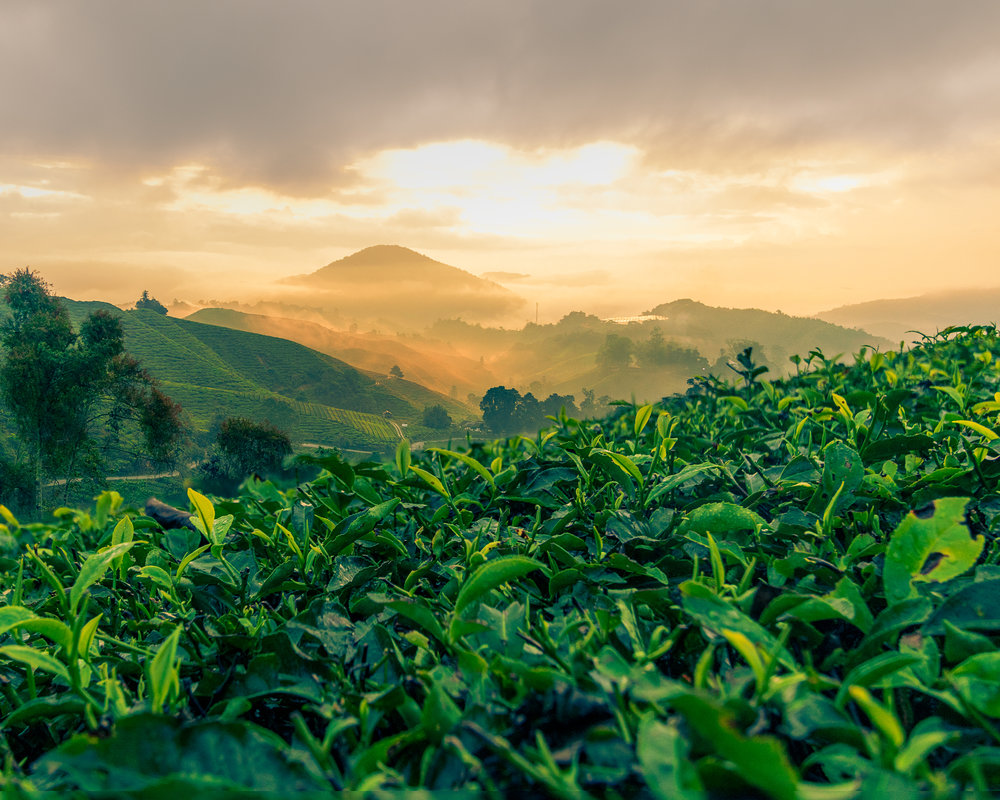 Cameron Highlands-6.jpg