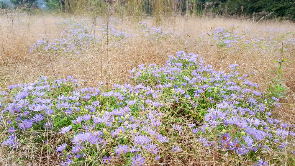 Asters in a matrix of Eragrostis make a beautiful seasonal theme in fall.