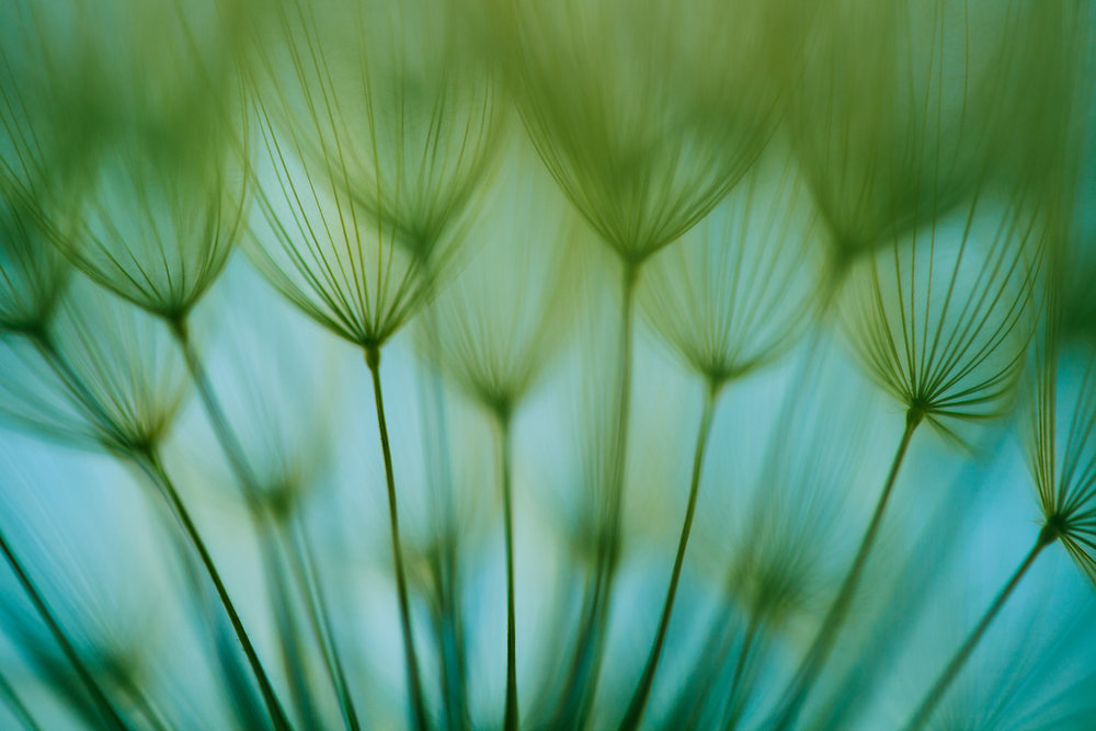 Dandelion close up.jpg