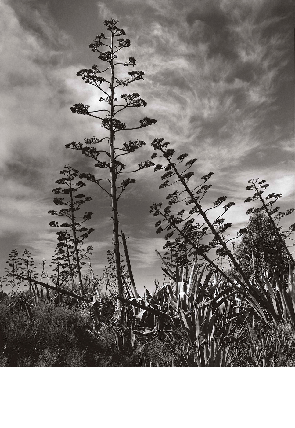Agave Flower Spikes