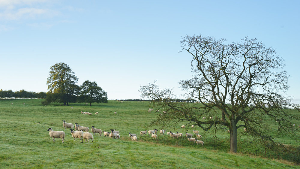#9 - Grazing flock of sheep